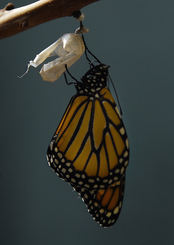 Learning about the life cycle is one of the Monarch butterly activities to do with Spanish learners.