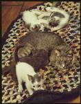 A cat and her kittens - Learn Spanish with pictures