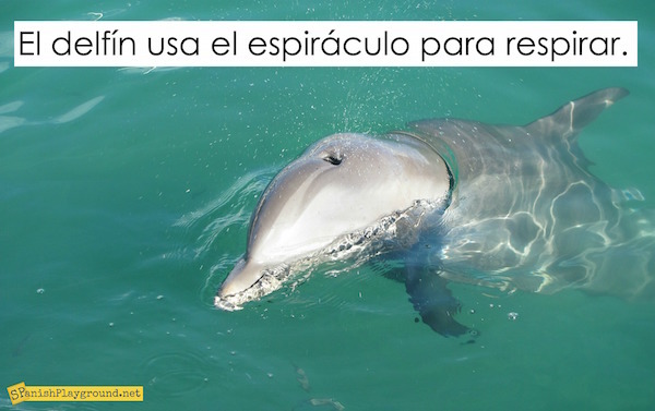 Dolphin activities in Spanish teach vocabulary and grammar to elementary students.